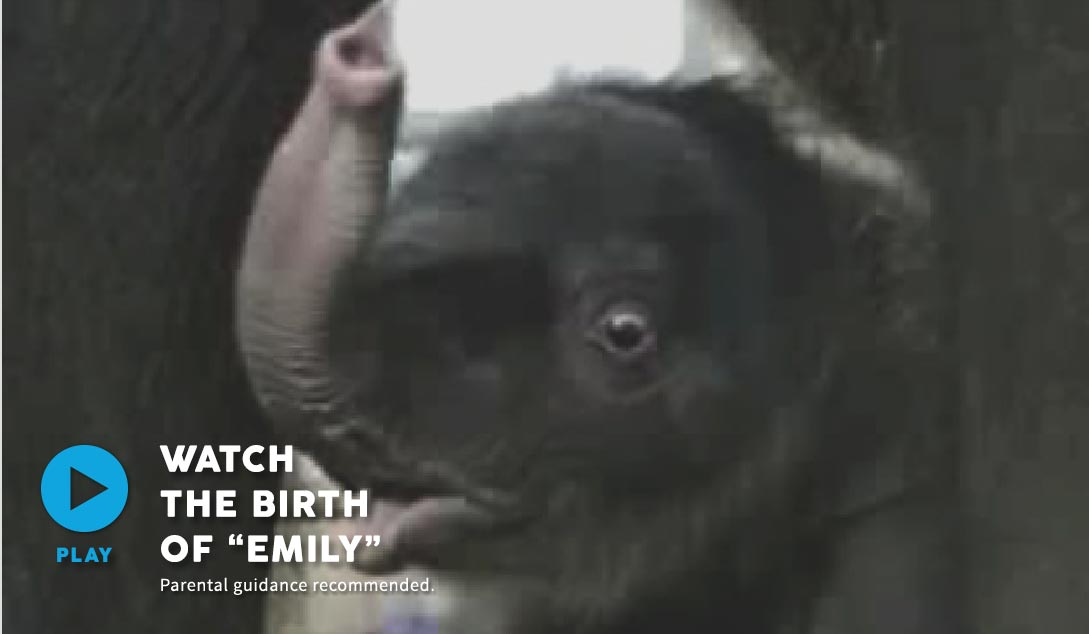 Breeding Programmes - Elephant- Birth of Emily