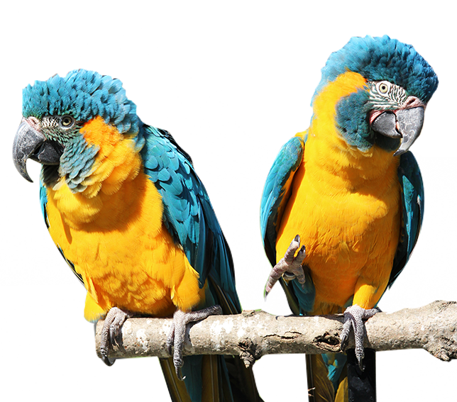 Blue and yellow bird on a branch