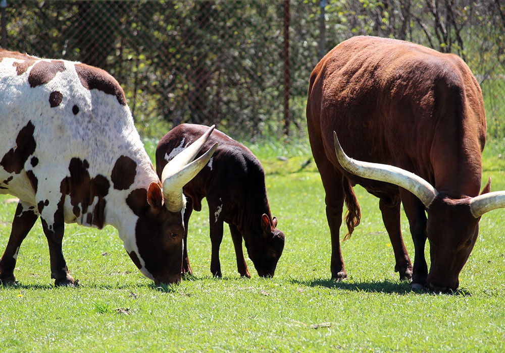 Watusi In the grass