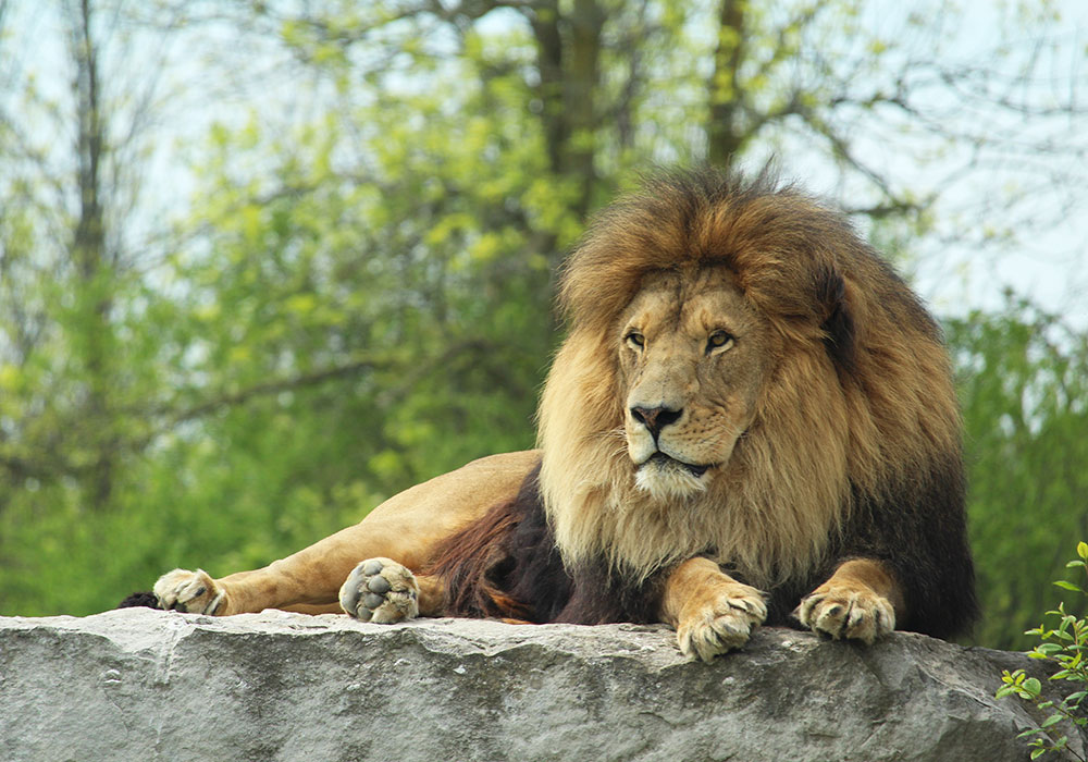Tawny Lion on Rock at African Lion Safari