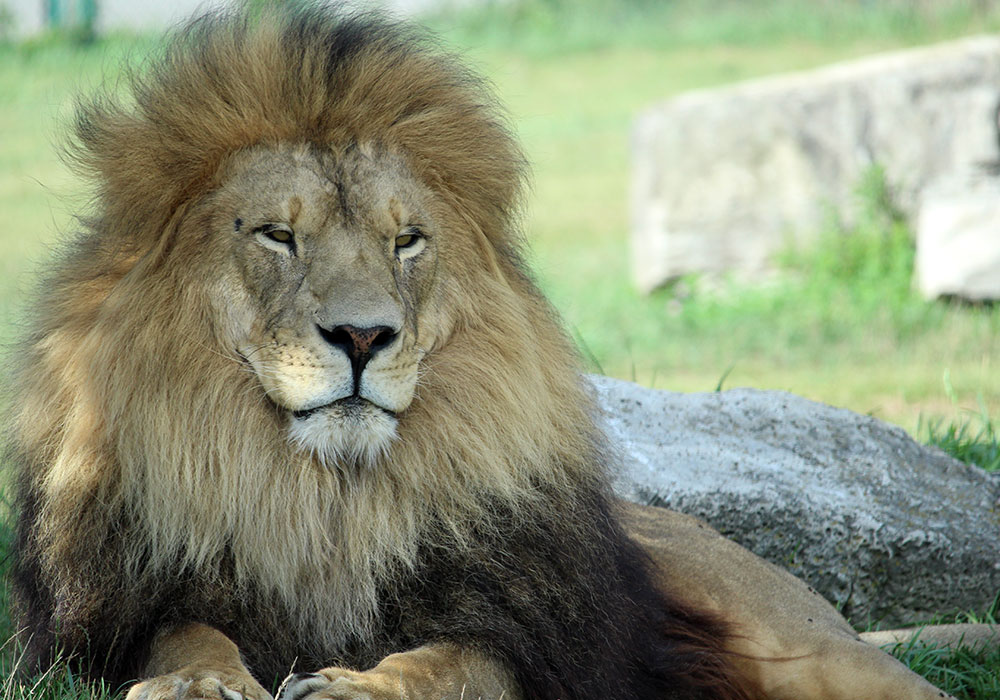 Tawny Lion at African Lion Safari
