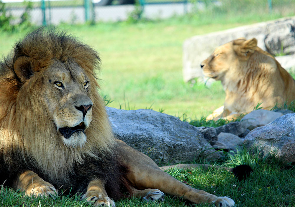 Tawny Lions in the grass at African Lion Safari
