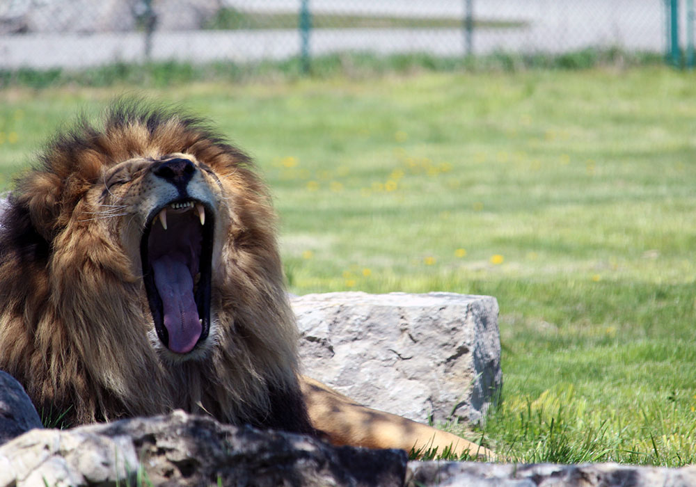 Tawny Lion yawning at African Lion Safari