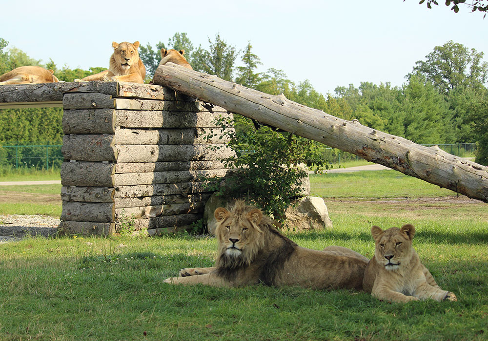 Tawny Lions at African Lion Safari