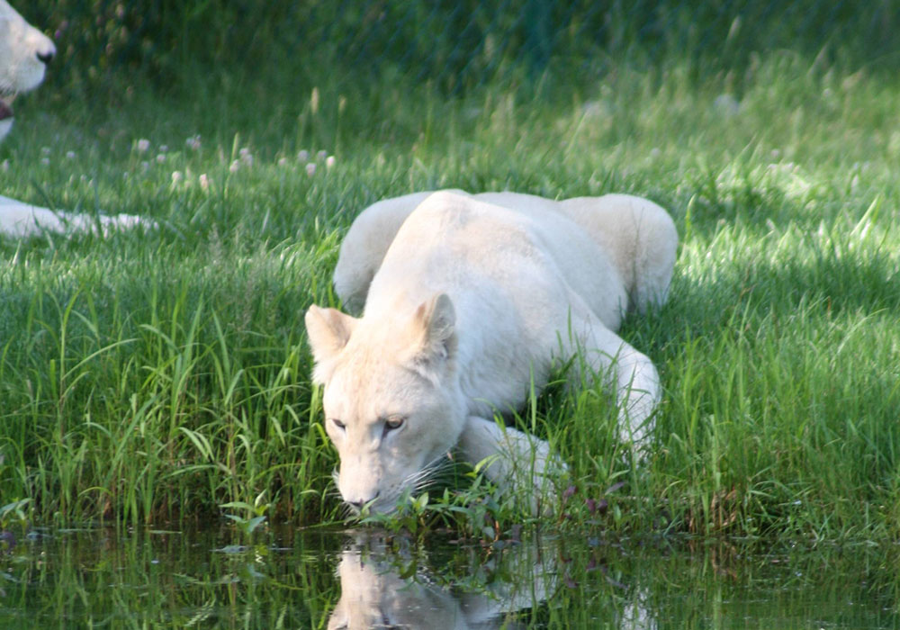 White Female Lion Drinking from lake at African Lion Safari