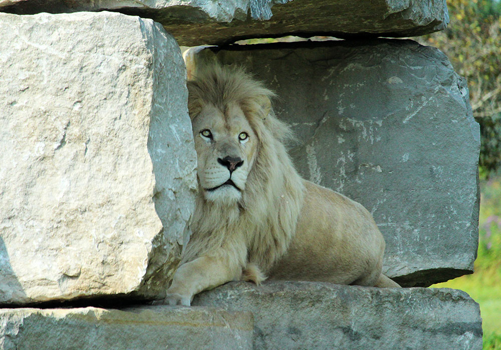 White Lion in rock Structure at African Lion Safari