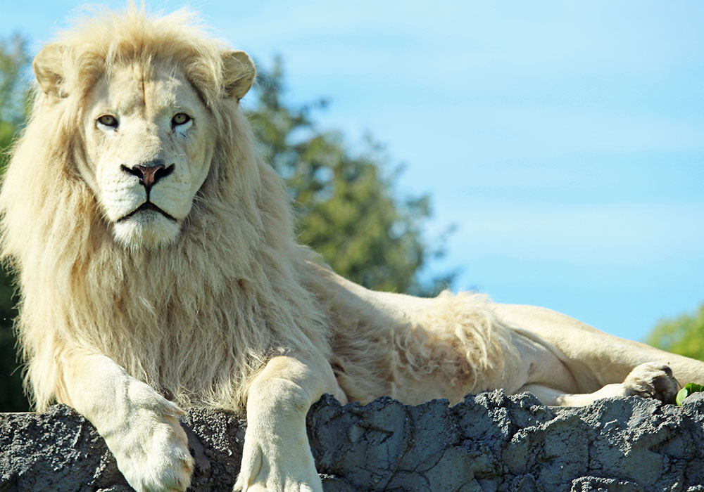 White Lion on a Rock at African Lion Safari