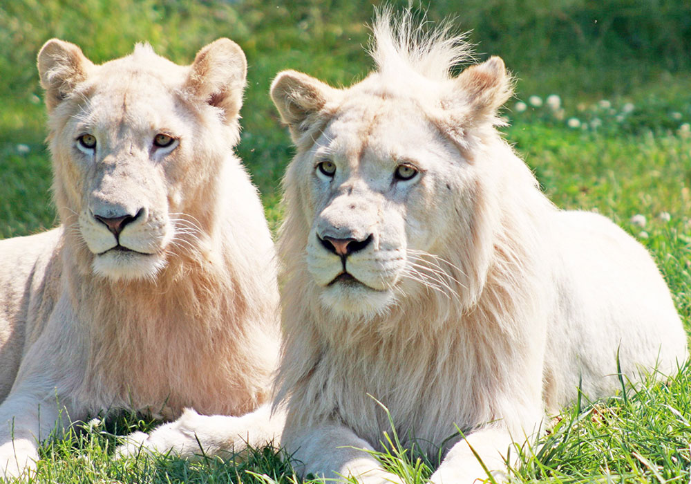 Two White Lions in the grass at African Lion Safari