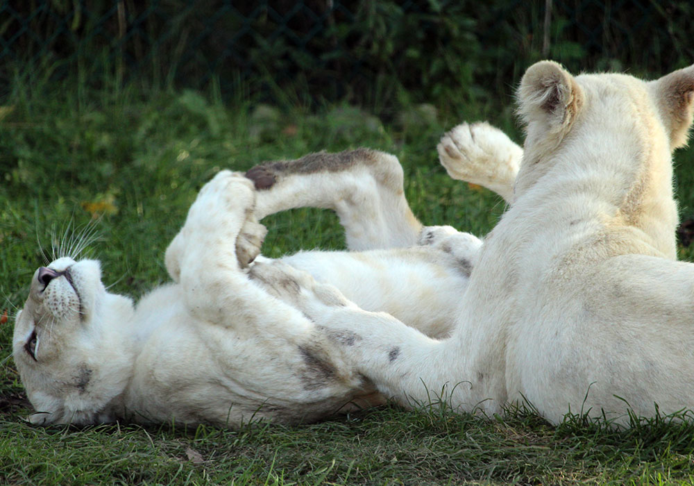 White Lions playing in the grass at African Lion Safari