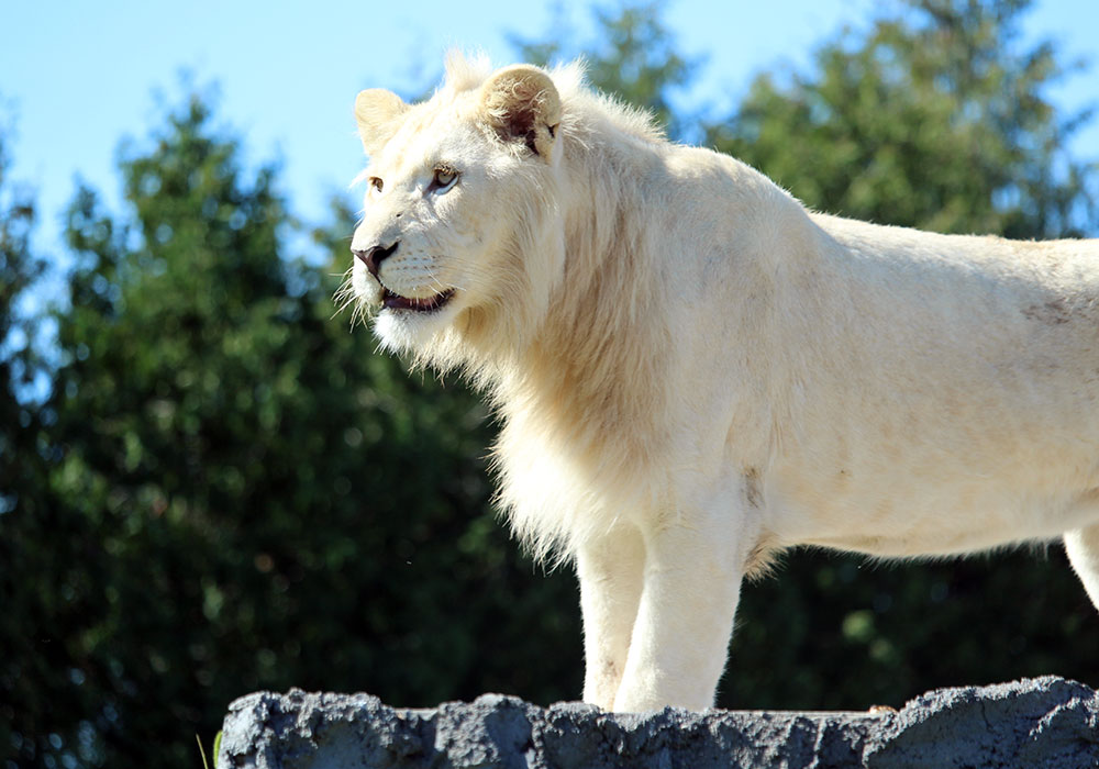 White Lion on a rock at African Lion Safri