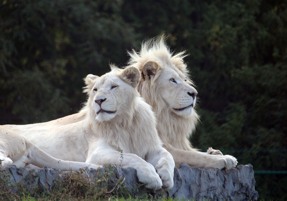 Two White Lions on a rock at African Lion Safari