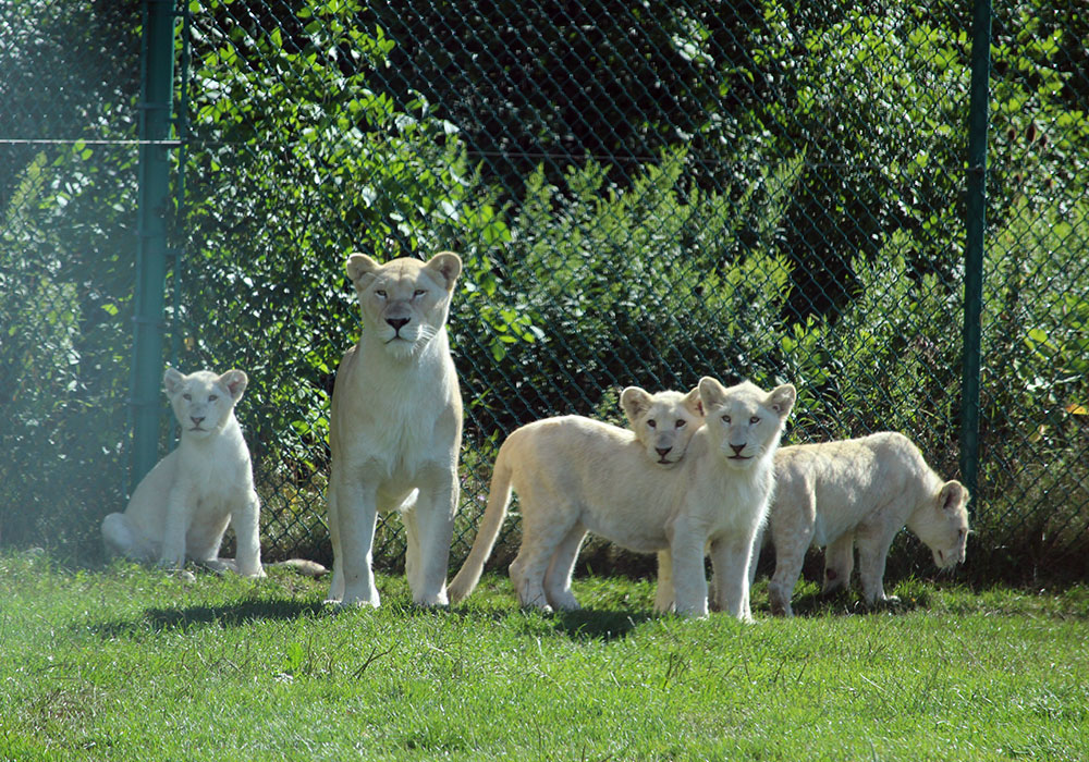 White Lion and White Lion Cubs at African Lion Safari