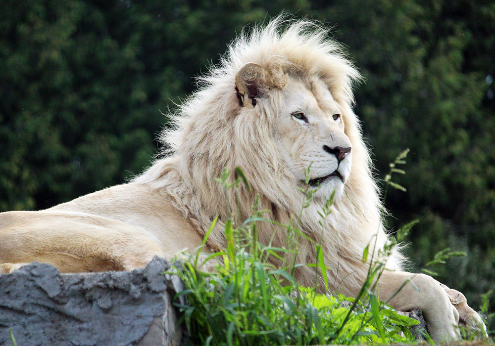 White male Lion on a rock at African Lion Safari