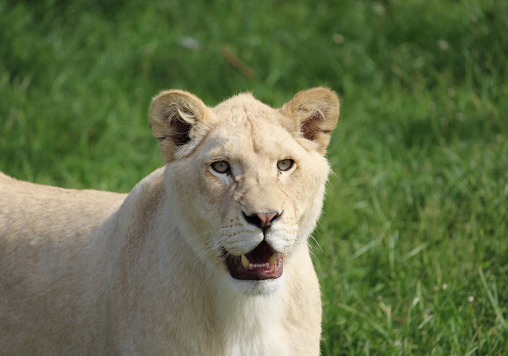 White Female Lion at African Lion Safari