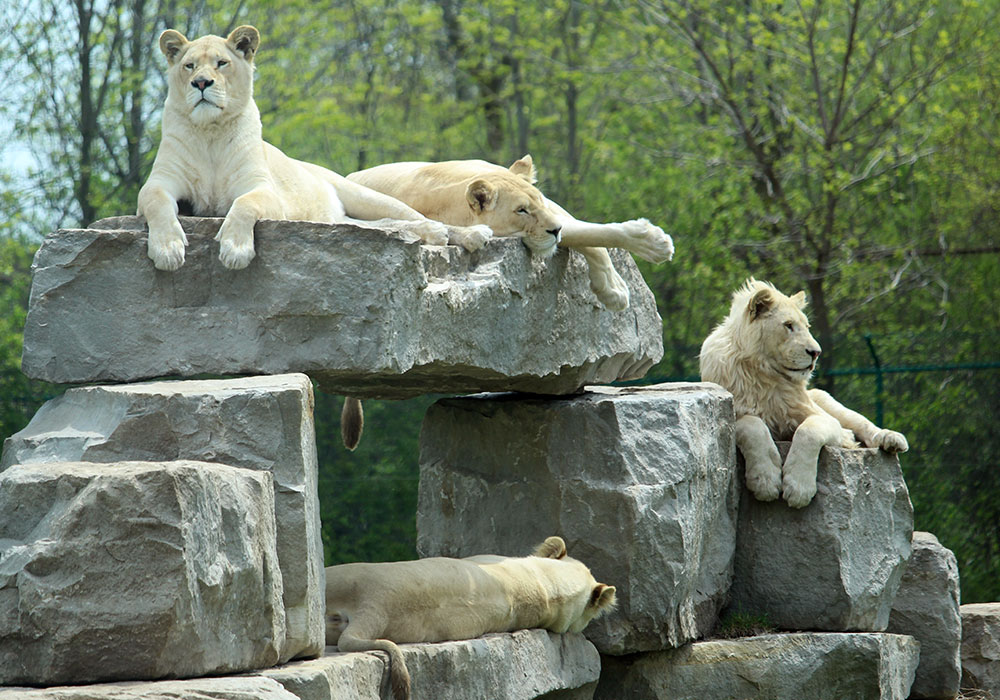 White Lions on Rock Structure in the Game Reserves at African Lion Safari