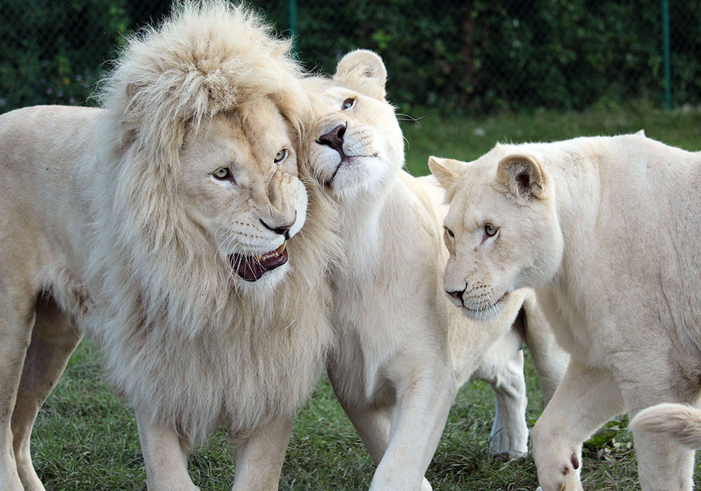 White Lions in Game Reserves