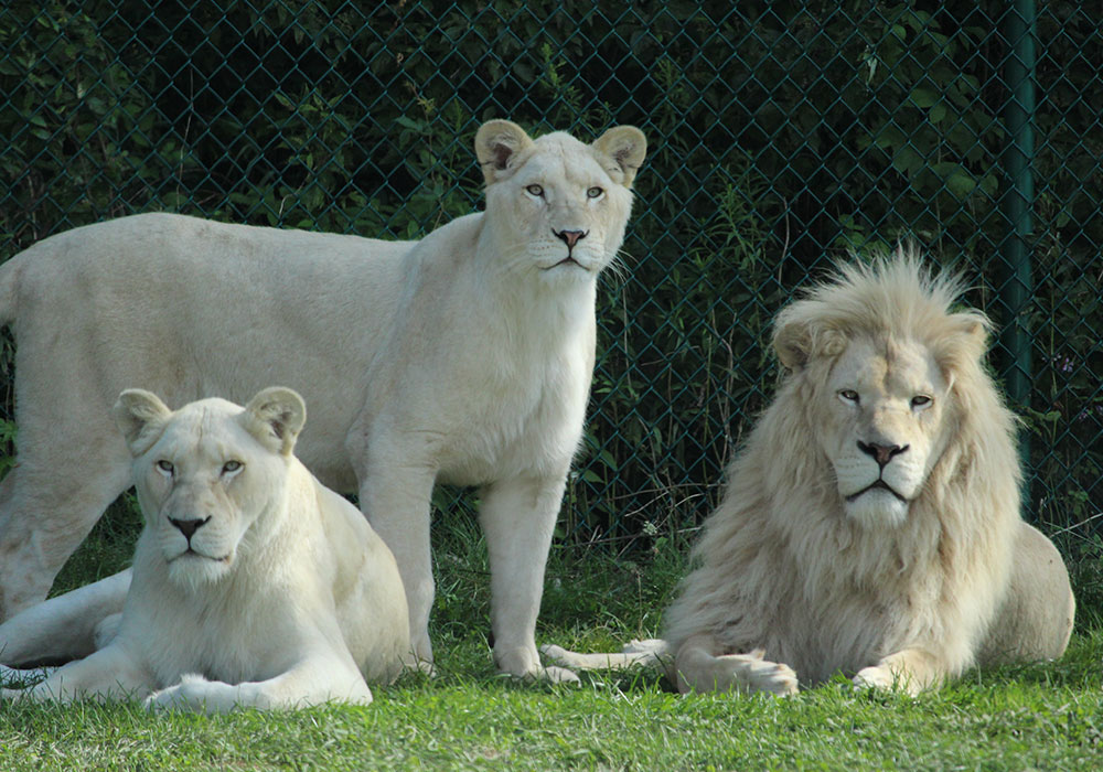 White lions in Game Reserves at African Lion Safari