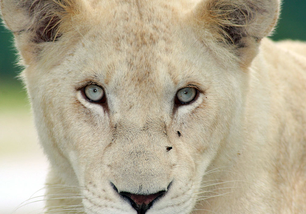 Close up of White Female Lion