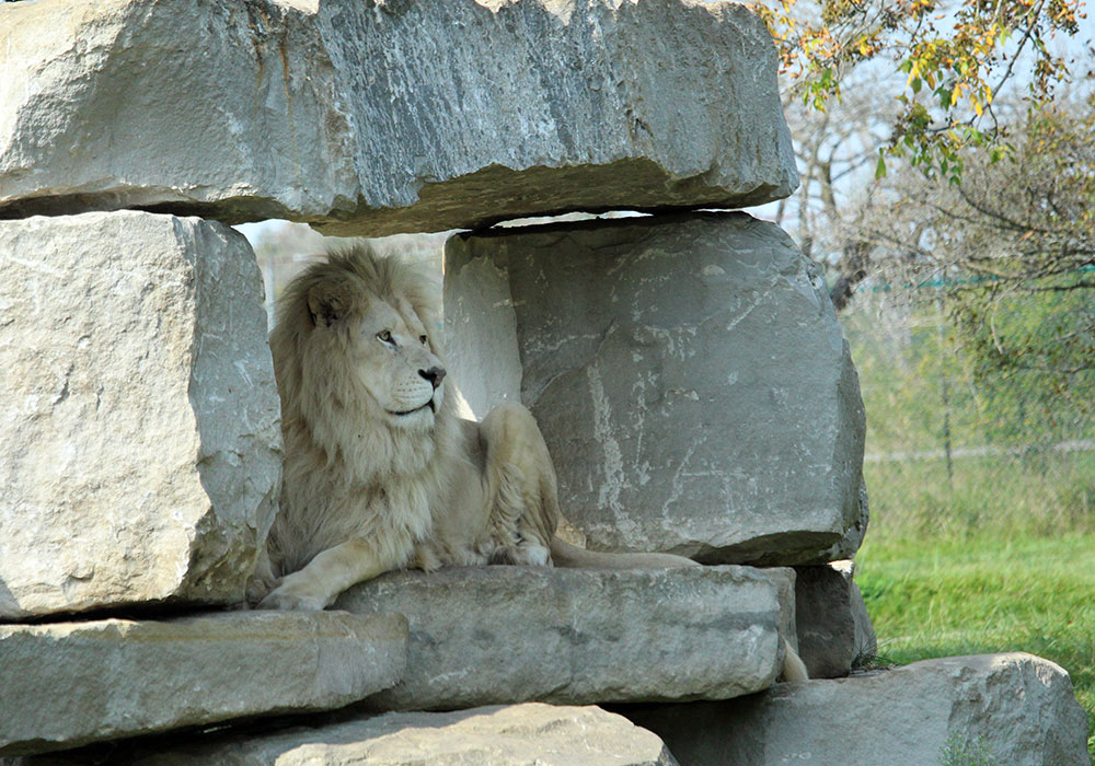 White Lion in Rock Structure of Game Reserves at African Lion Safari
