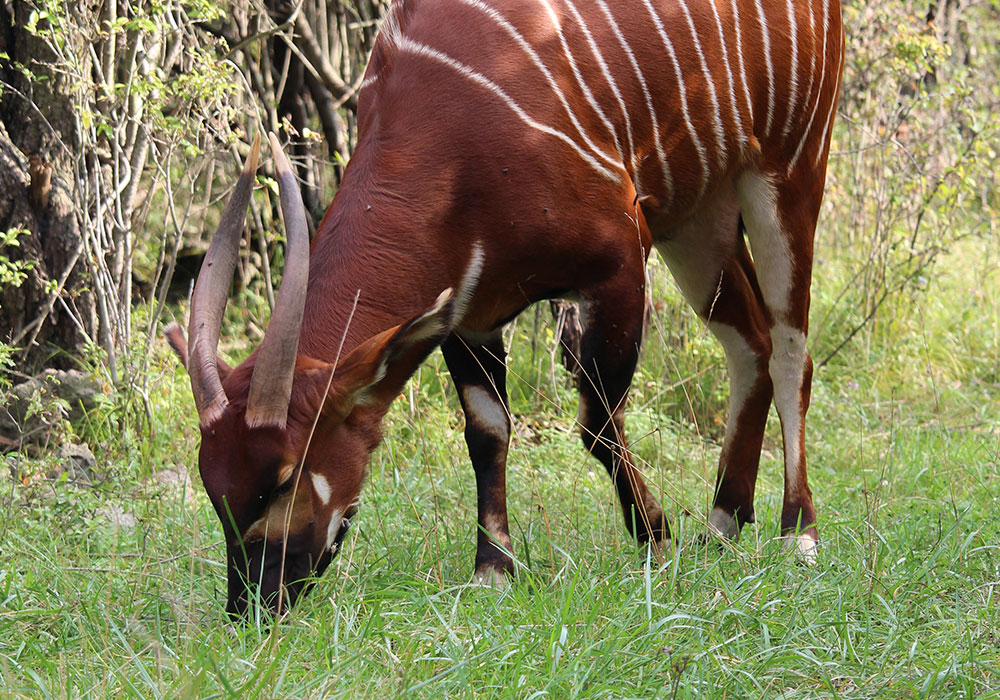 Bongo Antelope Grazing in the Grass
