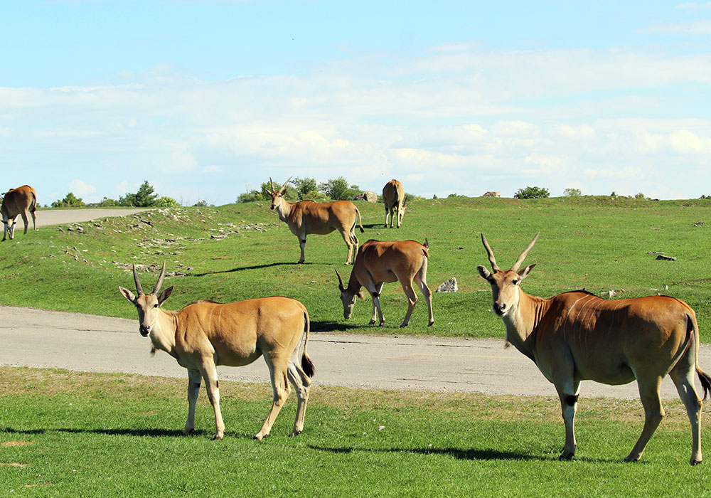 Herd of Eland at African Lion Safari