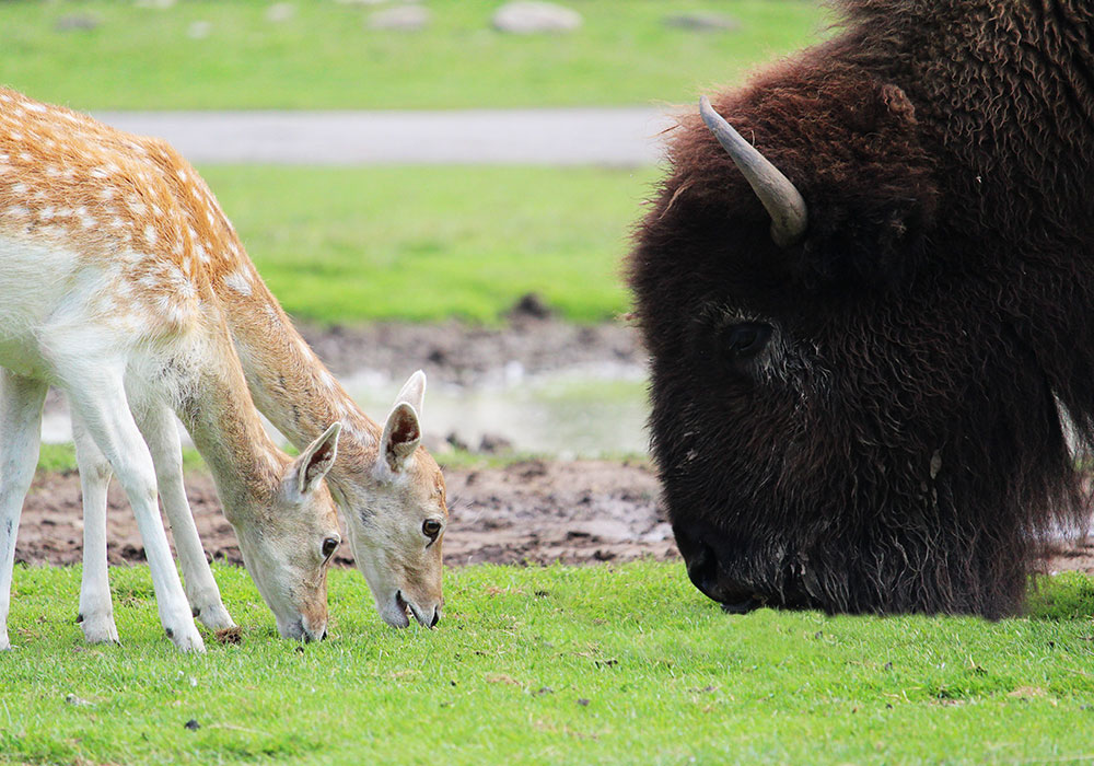 Deer and Bison Grazing at African Lion Safari
