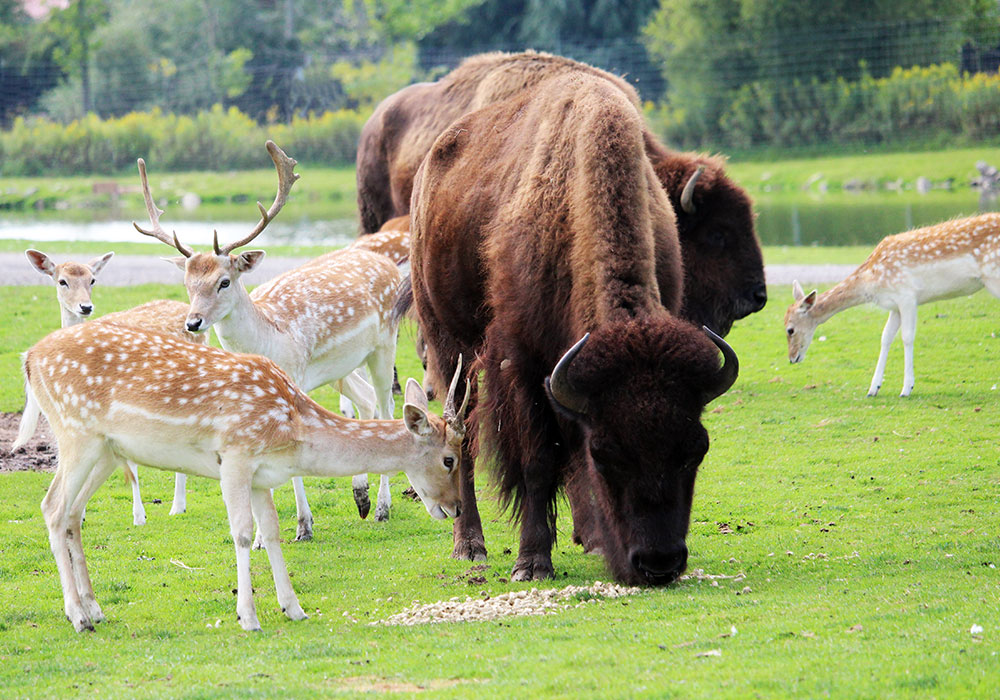 Deer and Bison at African Lion Safari