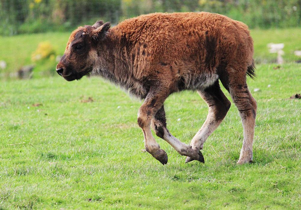 Baby Bison running