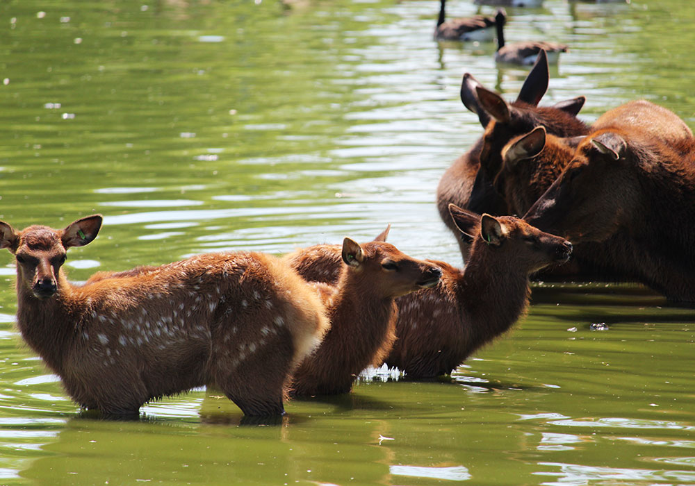 Deer in lake at African Lion Safari