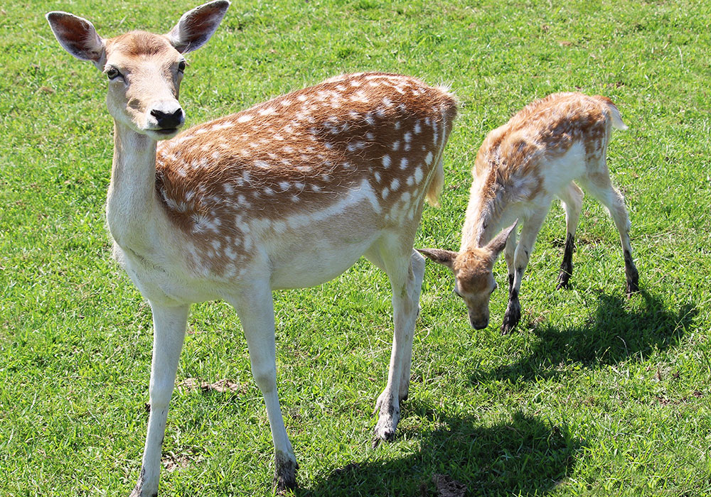 Mother deer and a baby deer