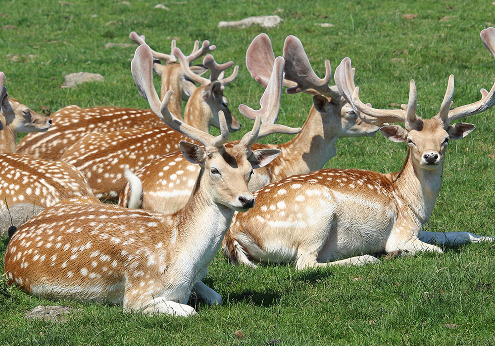 Herd of laying on the grass deer