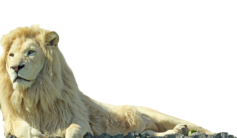 white Lion
