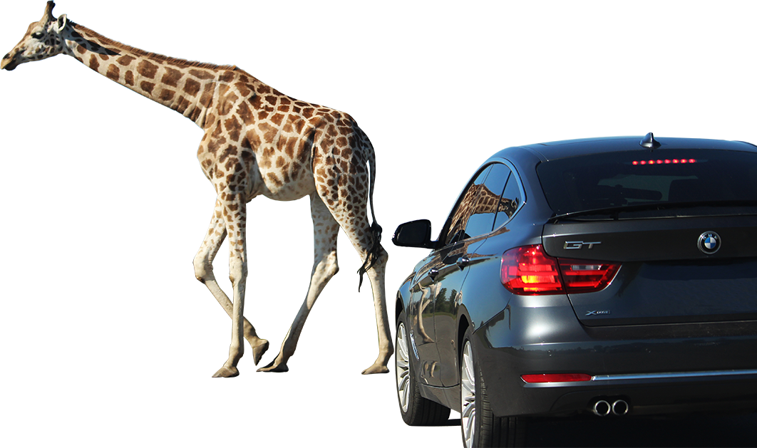 game reserves giraffe in front of car