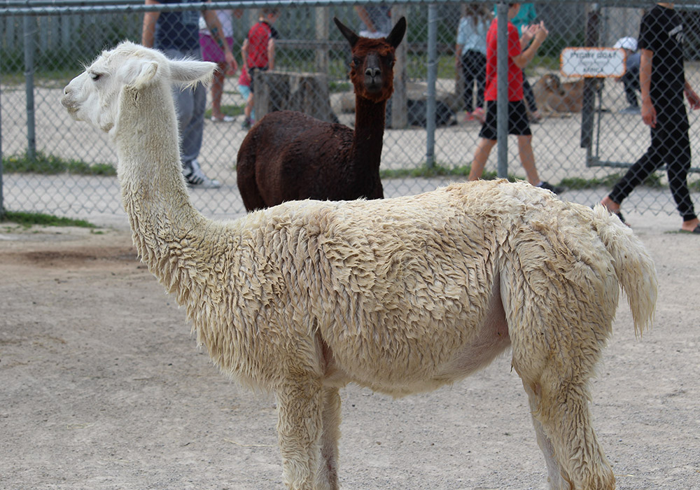 White and brown lama