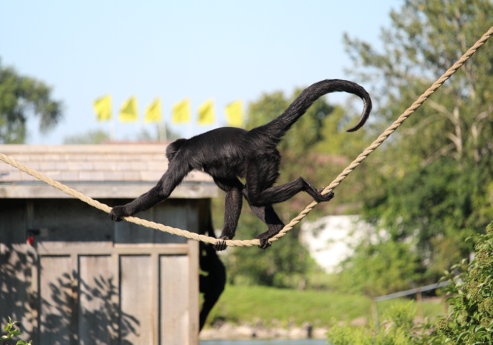 Monkey playing on a rope