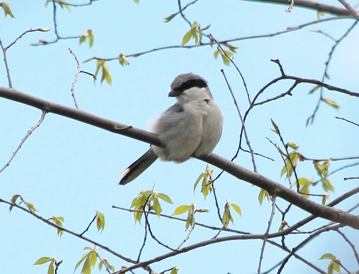 eastern loggerhead shrike in a tree