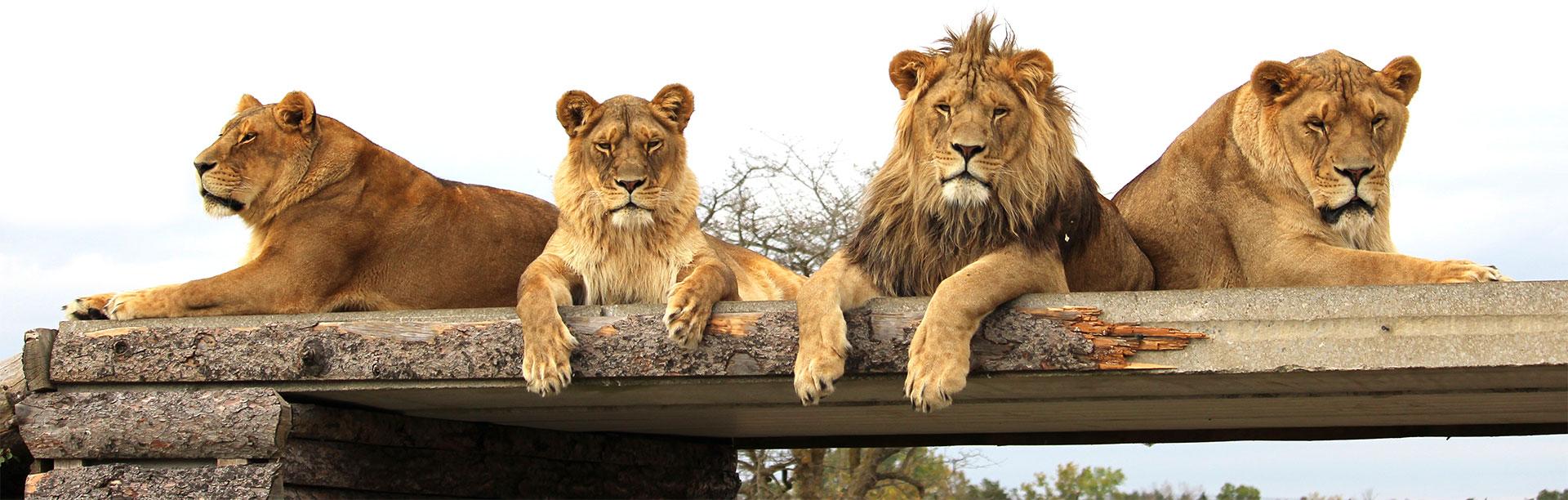 Tawney Lions