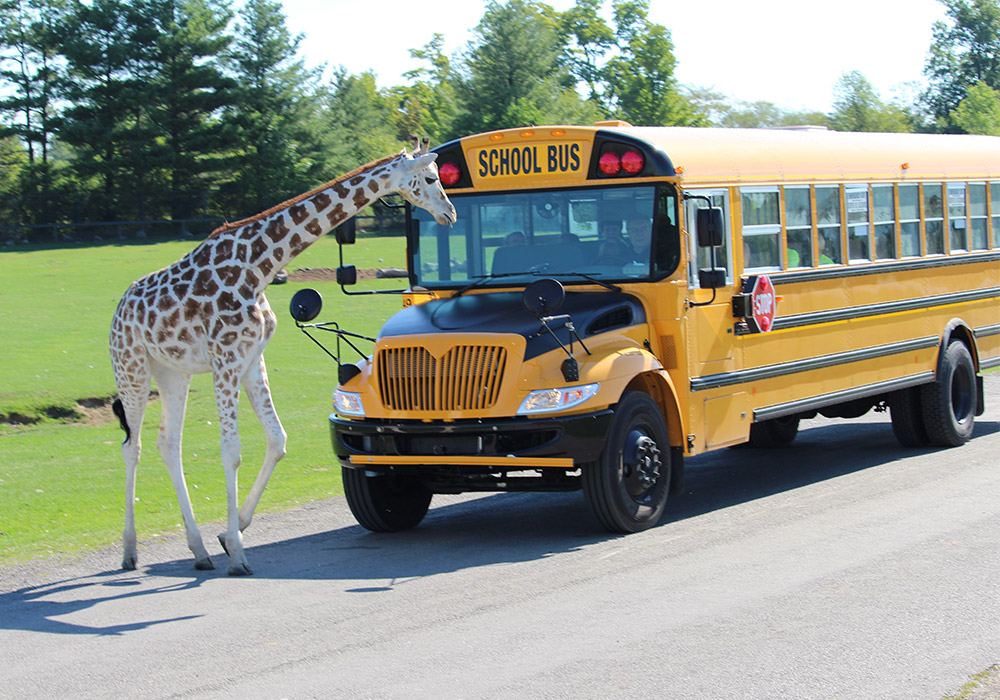 Giraffe in front of a Bus