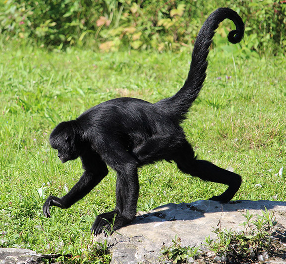 ROBUST BLACK SPIDER MONKEY