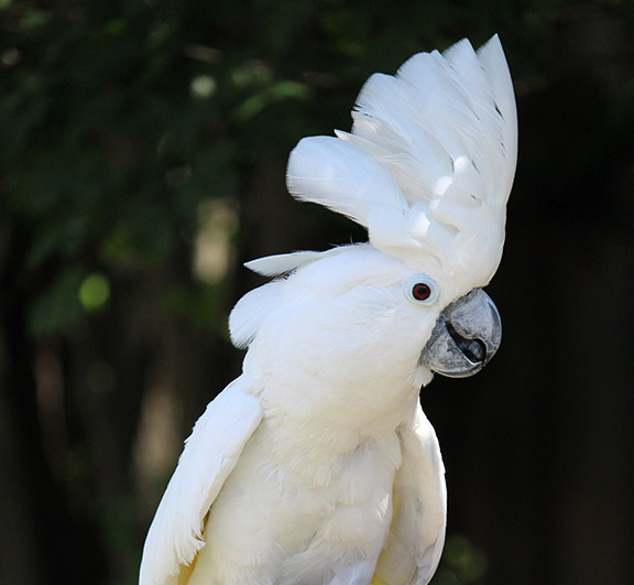 UMBRELLA OR MOLUCCAN COCKATOO