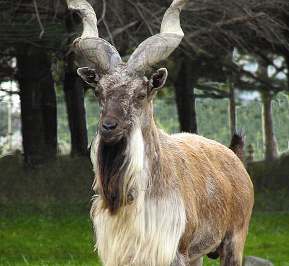 Markhor African Lion Safari