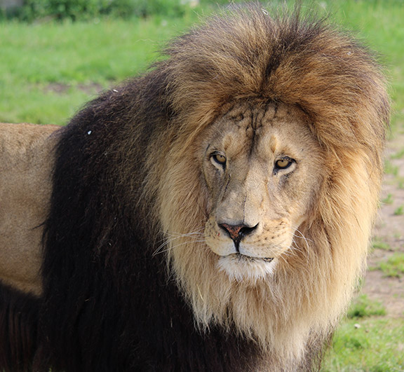 tawny-lion